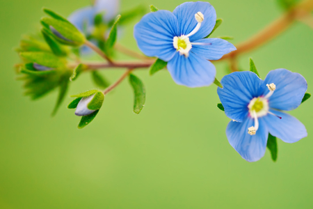 Beautiful blue flower medicinal veronica. Outdoors.