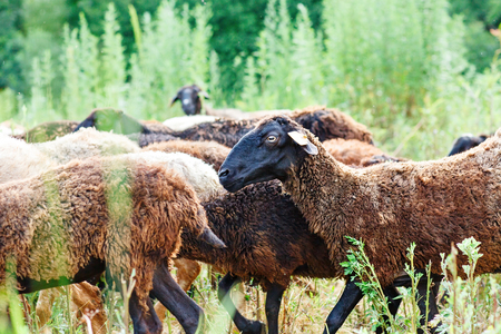 Sheep grazing in a field and eat grass. Stock Photo