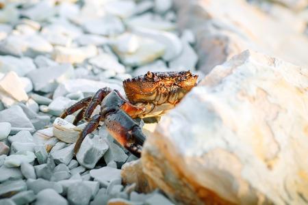 Sea crab on the rocky shore of the sea. Stock Photo