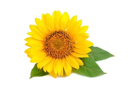 Beautiful sunflower on white background.
