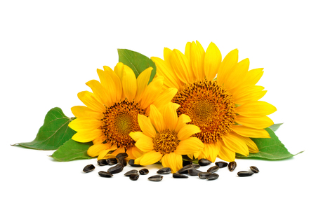 Beautiful sunflowers on a white background.