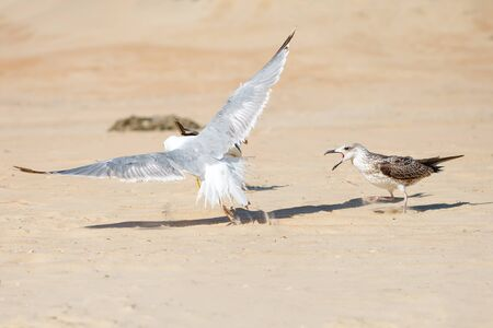 common blue: Seagull on a sandy sea shore .