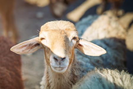 Livestock farm, herd of sheep.