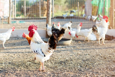 Chicken on a poultry farm. Stock Photo