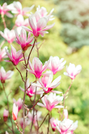 Beautiful flowering magnolia tree with pink flowers spring beautiful flowering magnolia tree with pink flowers spring background stock photo 98854722 mightylinksfo