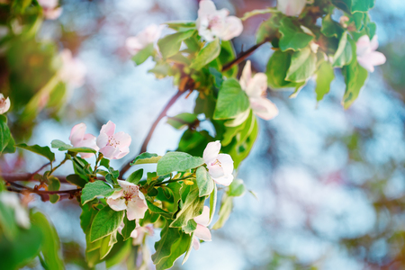 The quince tree. Beautiful flowers of quince tree in spring. Flowers and gardening. Floral background.