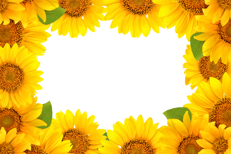 Frame of sunflowers on a white background. Background with copy space. Stok Fotoğraf