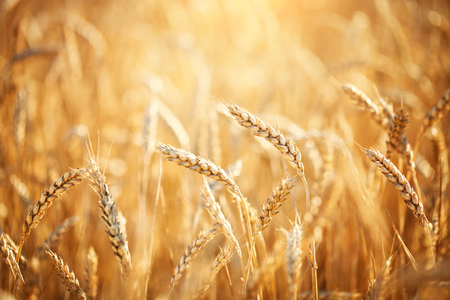 Wheat field. Rural Scenery under Shining Sunlight. A background of the ripening wheat. Rich harvest. Stock Photo
