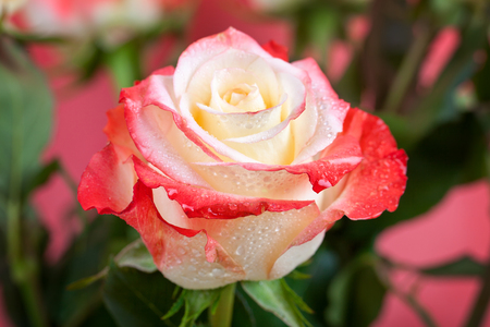 Beautiful multi-colored rose with dew drops close-up. For greeting cards.