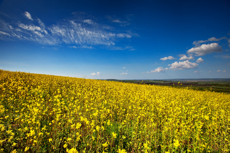 Beautiful fields of Bright yellow wild flowers. Summer. Winter cress. Foto de archivo
