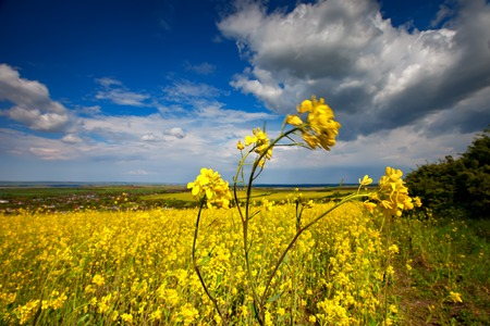 Beautiful fields of Bright yellow wild flowers. Summer. Winter cress. Barbarea. Foto de archivo
