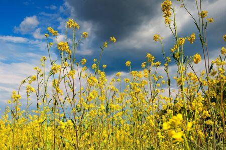 Beautiful fields of Bright yellow wild flowers. Summer. Winter cress. Barbarea. Stock Photo
