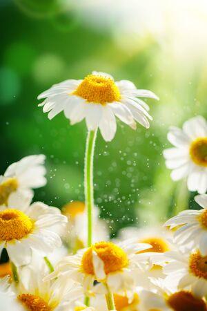 Beautiful field chamomile in a garden. Summer flowers. Fine meadow. Summer background.