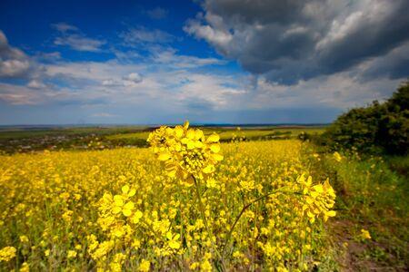 Beautiful fields of Bright yellow wild flowers. Summer. Winter cress. Barbarea. Stock fotó