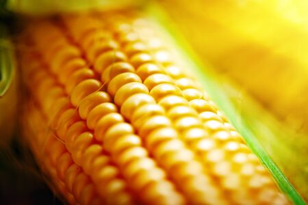Fresh corn on cobs on rustic wooden table, closeup. Harvest Festival. Autumn background. Selective focus. Horizontal.