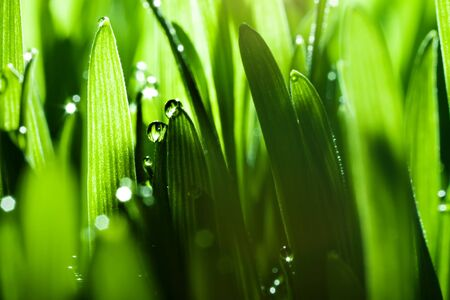 Macro. Background, water drops on the green grass. Desktop background. Selective focus. Horizontal.