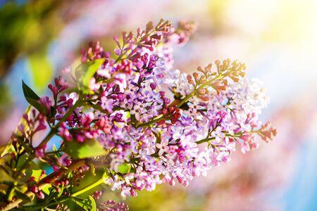 Lila Blumen blühen im Frühjahr. Frühlingsblühen, abstrakter Hintergrund. Banner. Selektiver Fokus. Horizontal. Standard-Bild