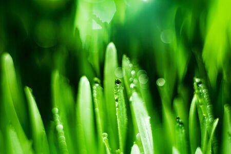 Macro. Background, water drops on the green grass. Desktop background. Selective focus. Horizontal. Archivio Fotografico