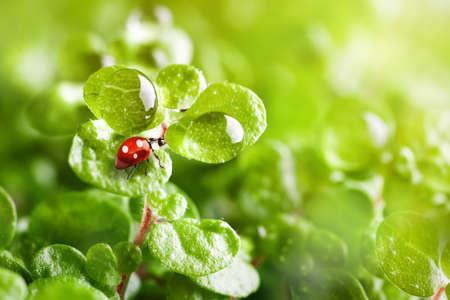 Ladybug a cow on the grass. Macro. Horizontal. Selective focus. Archivio Fotografico - 150883018