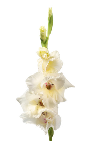 white gladiolus isolated on white