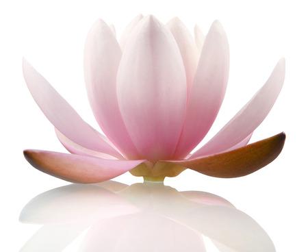 lirio blanco: Flor de loto aislado en blanco Foto de archivo