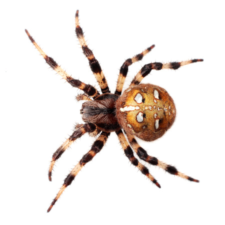 Spider Araneus diadematus on white background photo