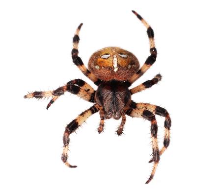 araneidae: Spider Araneus diadematus on white background