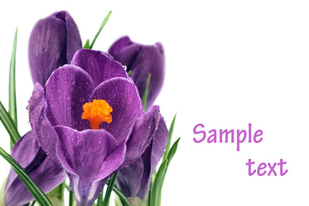 Purple crocus spring flowers isolated on white background  photo