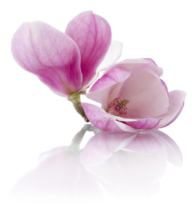 fresh magnolia flowers isolated on white Standard-Bild