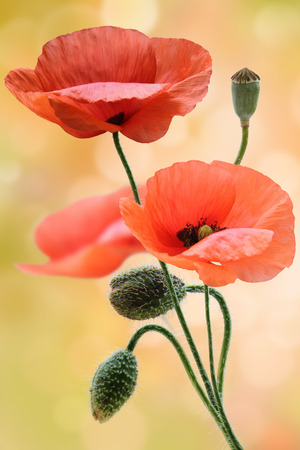 Field of wild poppy flowers  photo