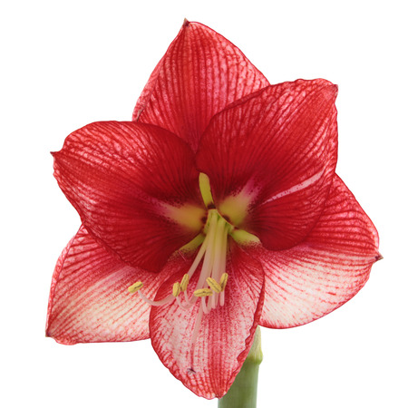 A Blooming Red and White Amaryllis Isolated on White photo