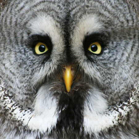 portrait of the Great Grey Owl  Strix nebulosa   photo