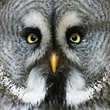 amarillo y negro: retrato de la nebulosa Gran Grey Owl Strix