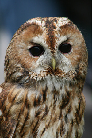 tawny owl: Tawny owl on dark background  Strix aluco  Stock Photo