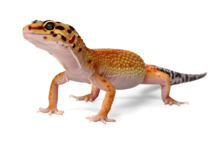 Leopard gecko Eublepharis macularius isolated on white background Standard-Bild