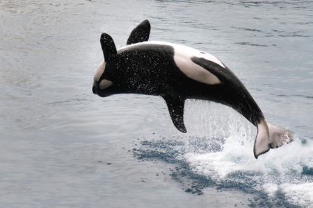 breaching: killer whale jumping out of the water