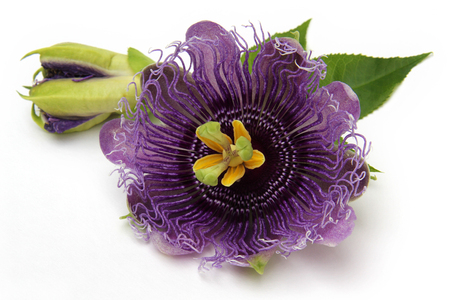The purple passionflower isolated on white background Banque d'images