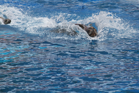 roaring sea: Sea lion in the water Stock Photo