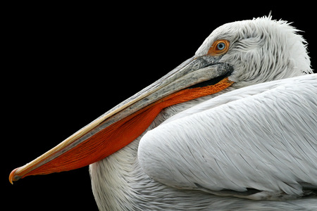 Pelican on black background. Pelecanus crispus Reklamní fotografie - 88776243