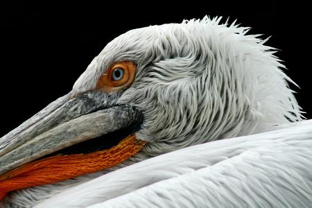 Pelican on black background. Pelecanus crispus