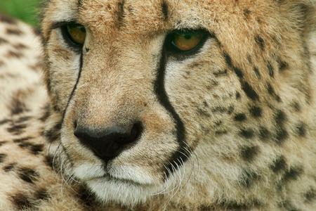 Cheetah (Acinonyx jubatus) Stockfoto