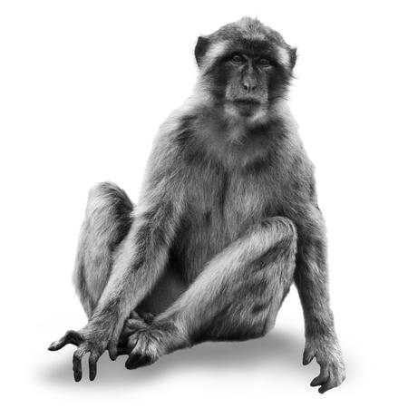monkey macaca (Macaca sylvanus) isolated on white background Reklamní fotografie
