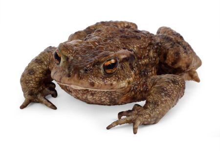 European toad, bufo bufo, in front of a white background. Reklamní fotografie