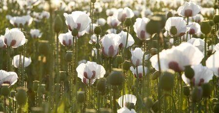 Summer white poppy field.