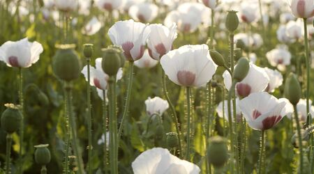 Summer white poppy field.