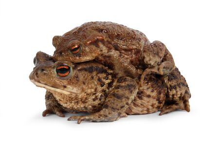 Two european toad, bufo bufo, in front of a white background.