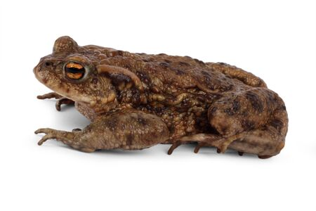 European toad, bufo bufo, in front of a white background. Reklamní fotografie - 128378882