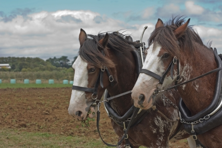 clydesdale: Two draft horses harnessed and ready to plow