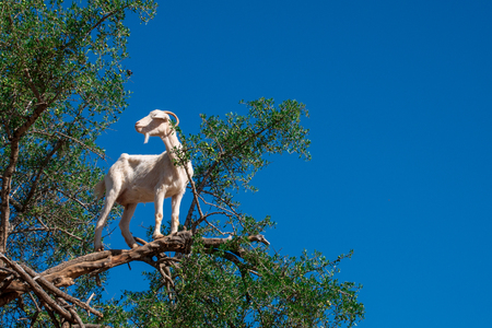 goat on the tree