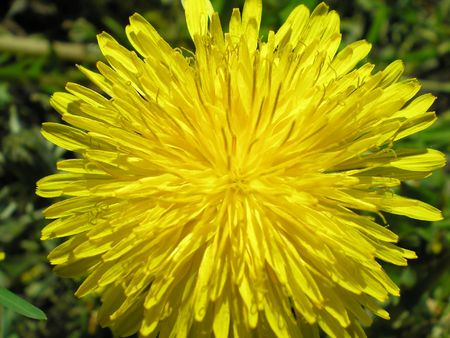 taraxacum: Taraxacum officinale Stock Photo
